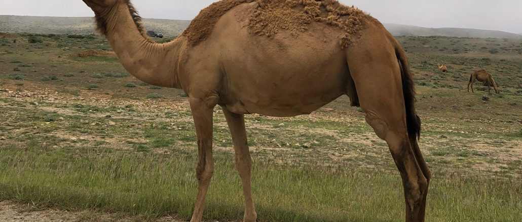 Camels in the Fog 1