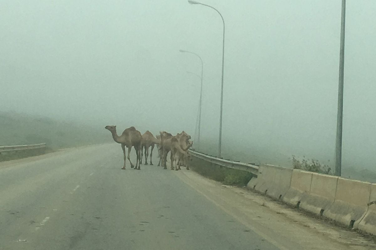Camels in the Fog 19