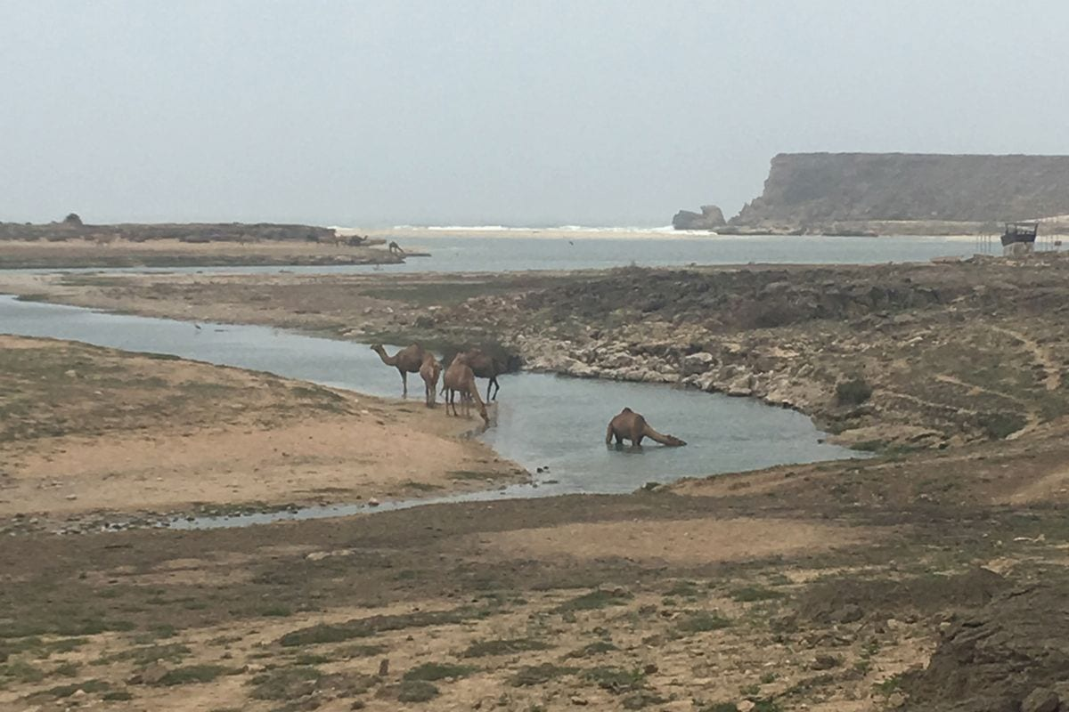 Camels in the Fog 24